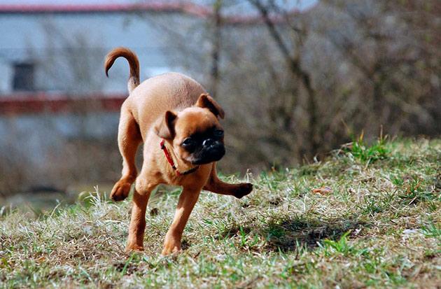 Пти брабансон очень веселая и активная собака и не заставит скучать своего владельца