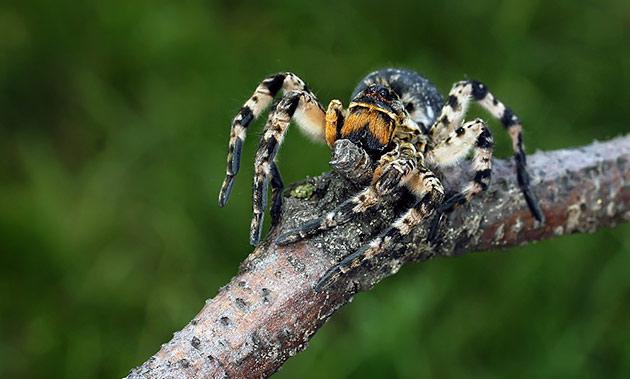 Яд южнорусского тарантула не смертелен для человека, но может доставит немало проблем