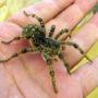 Южнорусский тарантул или Мизгирь