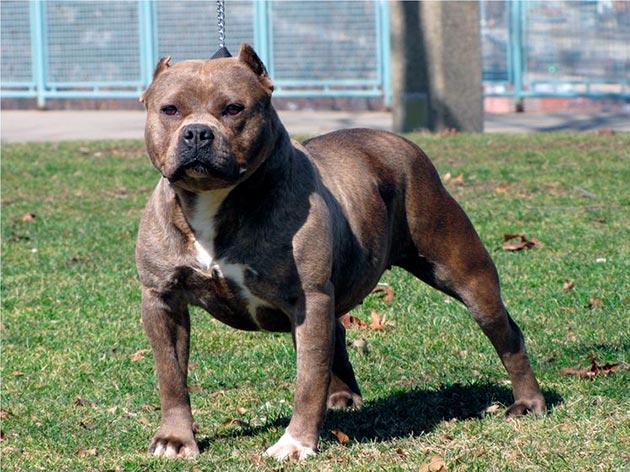 Бойцовская порода собак - Американский питбультерьер