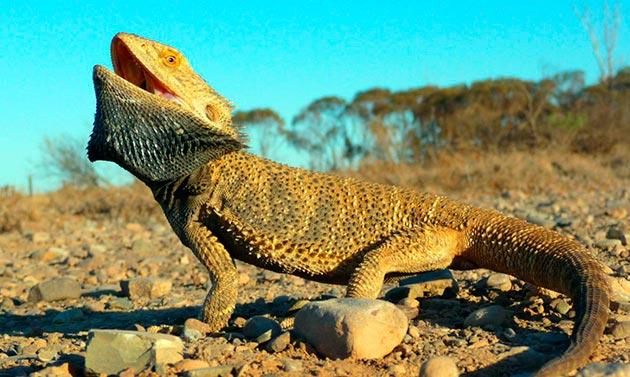 Ареал обитания бородатой агамы являются пустынные и каменистые местности Австралии