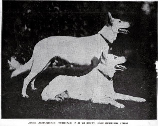 Породы собак: Белая швейцарская овчарка