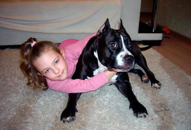 Бойцовские породы собак требуют большого терпения и многих часов дрессировки