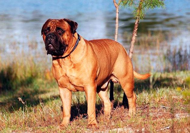 Бойцовская порода собак - Бульмастиф