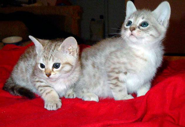 Цена на котят австралийских мистов составляет порядка 25 тысяч рублей