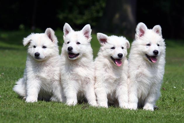 Цена щенка белой швейцарской овчарки с родословной довольно высока - около 20-30 тысяч рублей