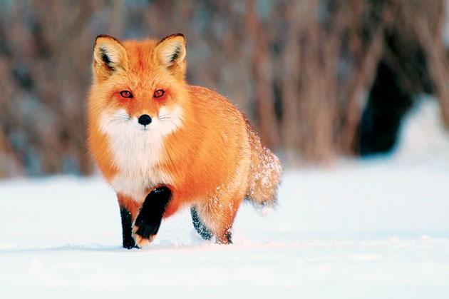 Мех лисиц высоко ценится у производителей одежды
