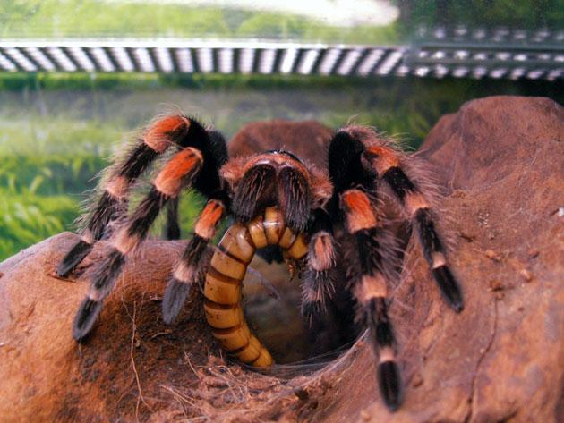 Пищу для паука-птицееда рекомендуется покупать в зоомагазине