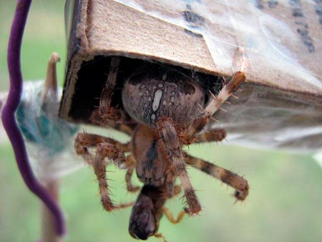 При кормление пауков в домашних условиях, необходимо давать в пищу насекомых не больше размера паука