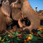 Что едят слоны
