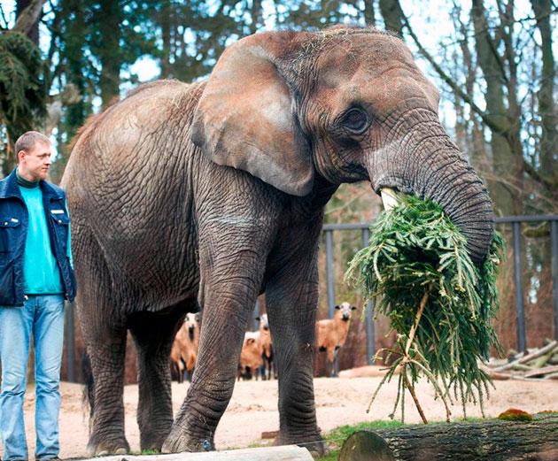 В условиях неволи, кормление слонов должно быть сбалансированным