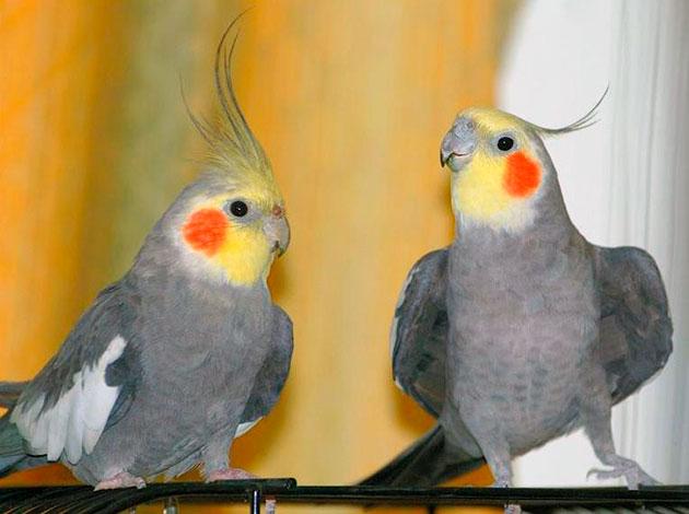 Хозяева попугаев рекомендуют приобретать самцов, они более обучаемые и быстрее привыкают к хозяину