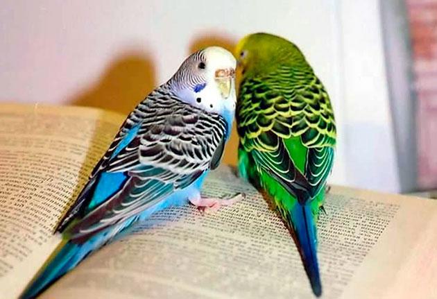Среди мелких попугаев - волнисты вне всякой конкуренции