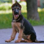 Дрессировка и воспитание немецкой овчарки