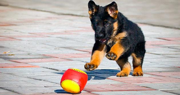 Воспитание щенка немецкой овчарки начинается с момента его покупки