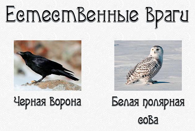 Главным естественным врагом гаги считают белую полярную сову, а для птенцов - ворону