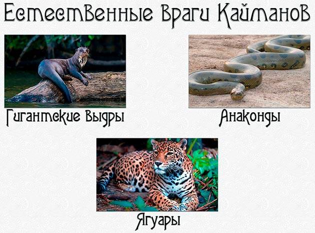 Природных врагов у кайманов практически нет, к ним можно отнести: ягуаров, анаконд и гигантских выдр