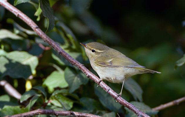Природные враги зеленной пеночки напрямую зависят от того, где обитает птичка