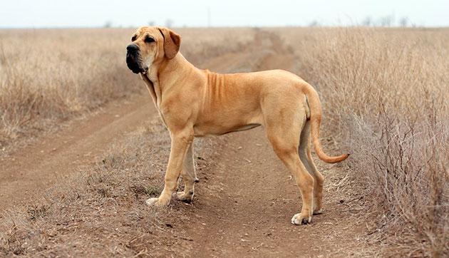 Бойцовская порода собак - Фила бразилейро