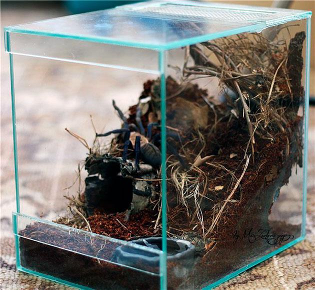 Для паука-птицееда рекомендуется приобрести кубический террариум
