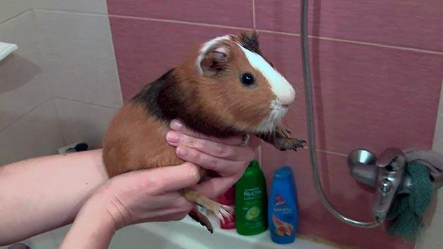 Мыть морскую свинку категорически нельзя, если в квартире сквозняк или слишком холодно