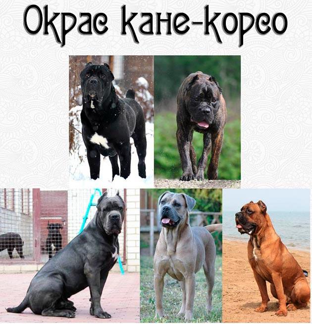Кане-корсо относиться к гладкошерстным породам собак и обладают различными окрасками