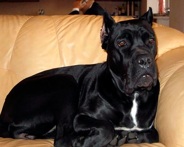 Кане-корсо гладкошерстные собаки, поэтому много шерсти от них не будет