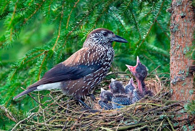 Самка кедровки высиживает кладку яиц порядка трех недель