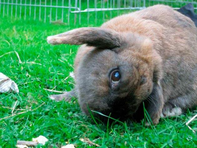 Кокцидиоз может появиться при нарушение карантина при приобретения новых кроликов, а также использования зараженного корма