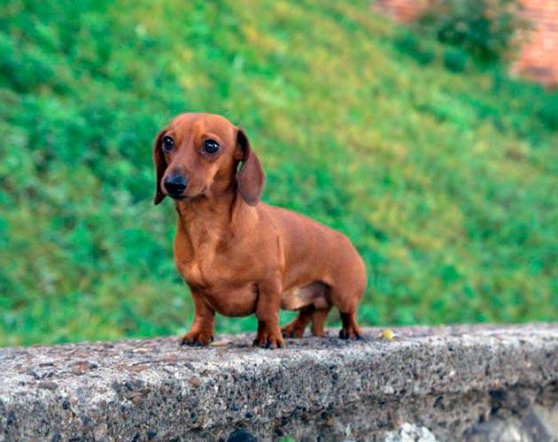 Породы собак: Кроличья такса
