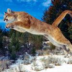 Пума (кугуар или горный лев)