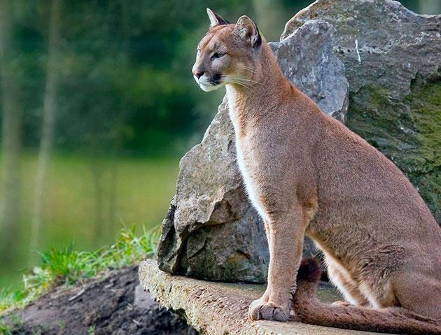 Пумы или горные львы объединяются, когда необходимо оставить потомство, в остальное время ведут одиночный образ жизни