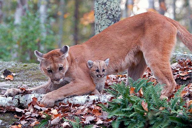 Самка кугуара вынашивает потомство около трех месяцев, после чего на свет появляются до 6 детенышей