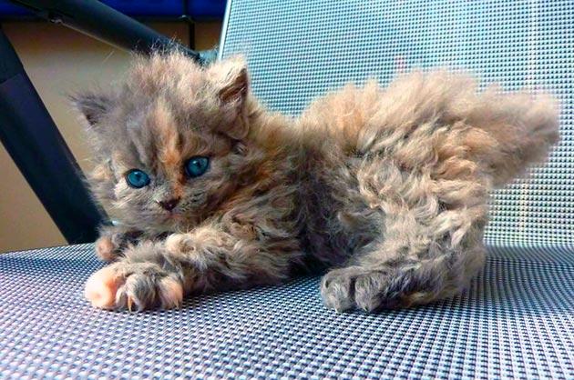 Перед покупкой селкирк-рекса проверьте наличие ветеринарного паспорта и внешний вид котенка