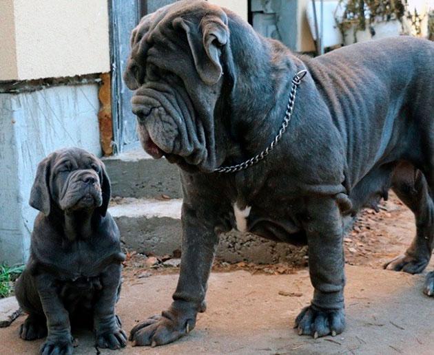 Мастино неаполитано из-за своих габаритов и особенностей дрессировки не рекомендуется собаководам новичкам