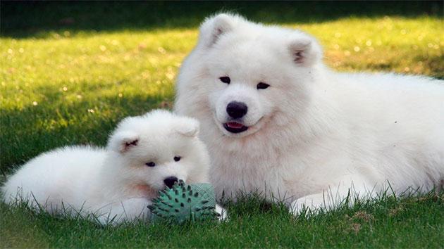 Прежде чем приобретать щенка самоедской лайки определить для выставок или дома нужна собака