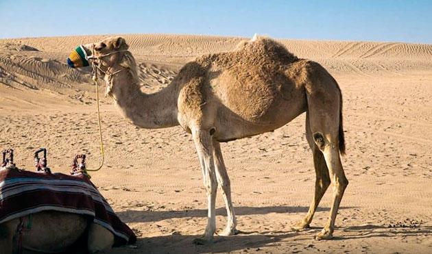 Верблюды, в основном, живут в стаде, численностью до 50 особей