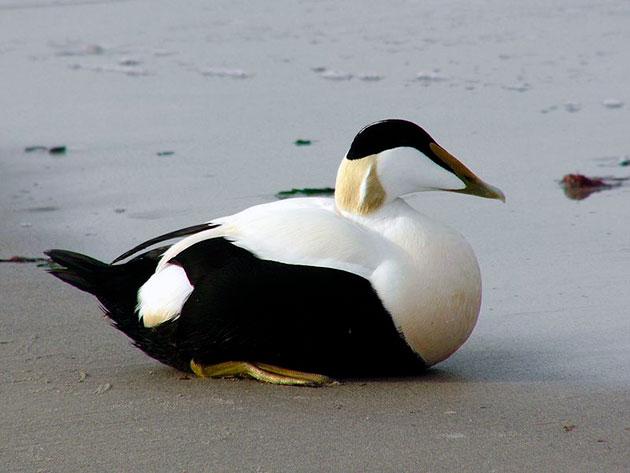 Обыкновенная гага (северная утка)