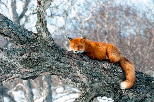 Так как ареал обитания лисицы обыкновенной обширен, так же и количество естественных врагов большое
