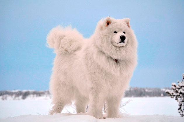 Породы собак: Самоедская собака