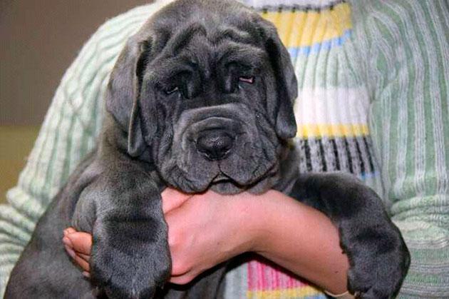 Заботы очень преданные собаки, но владельцы не рекомендуют заводить эту породу в семьях где есть маленькие дети