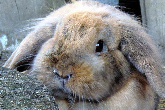 Пастереллез у кроликов образуется при контакте с зараженными животными, а также посредством воды