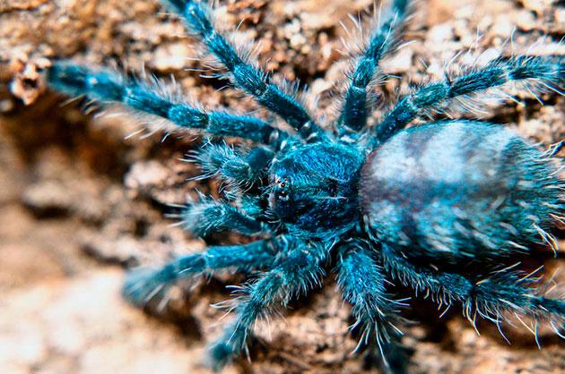 Разновидностей пауков птицеедов на сегодняшний день насчитывается около тысячи