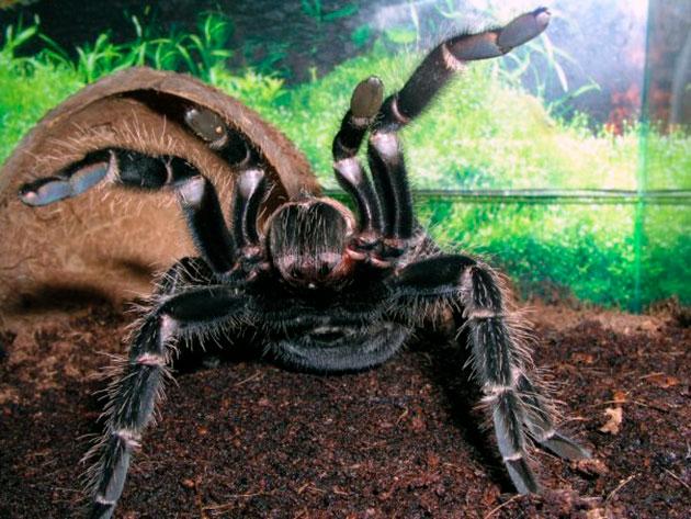 Когда паук птицеед чувствует опасность, он поднимает вверх передние лапы и если противник не среагировал на это - следует атака паука