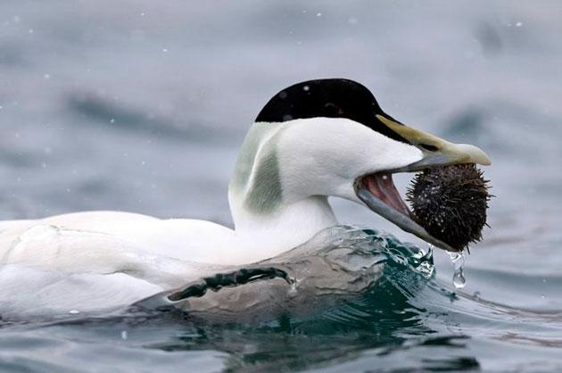 Рацион северной утки составляет рыба, ракообразные и моллюски