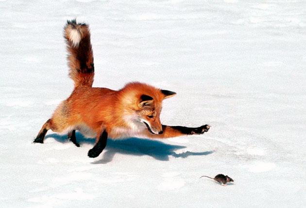 Лисица обыкновенная, в основном, питается мелкими грызунами