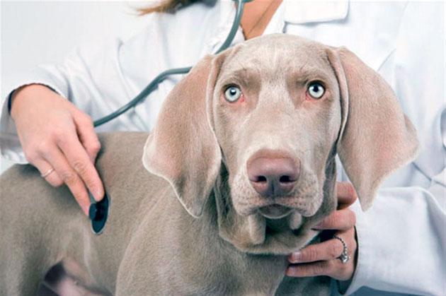 Заражение кожным клещом у собаки происходит зачастую после повреждения кожных покровом