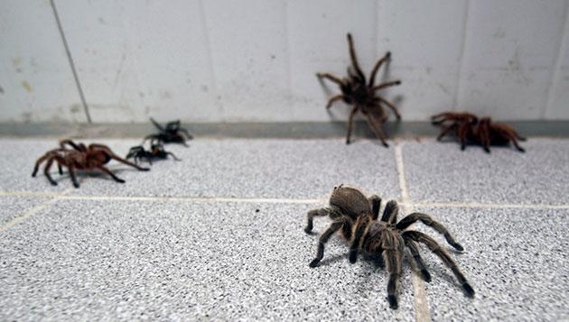Цена на паука птицееда напрямую зависит от особенностей его вида и внешних признаков