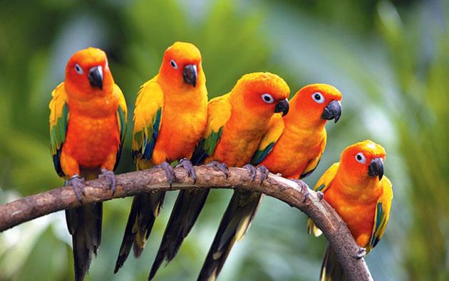 Попугаи Аратинги (Аrаtingа)