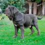 Породы собак: Мастино Наполетано